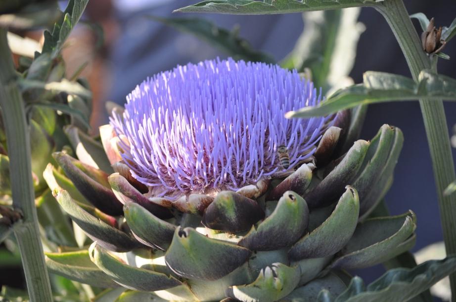 bee in artichoke flower, Los Angeles
