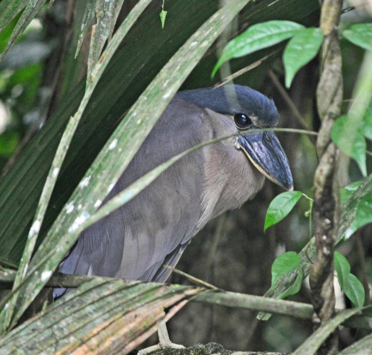 Boat-billed heron in TORTUGUERO
