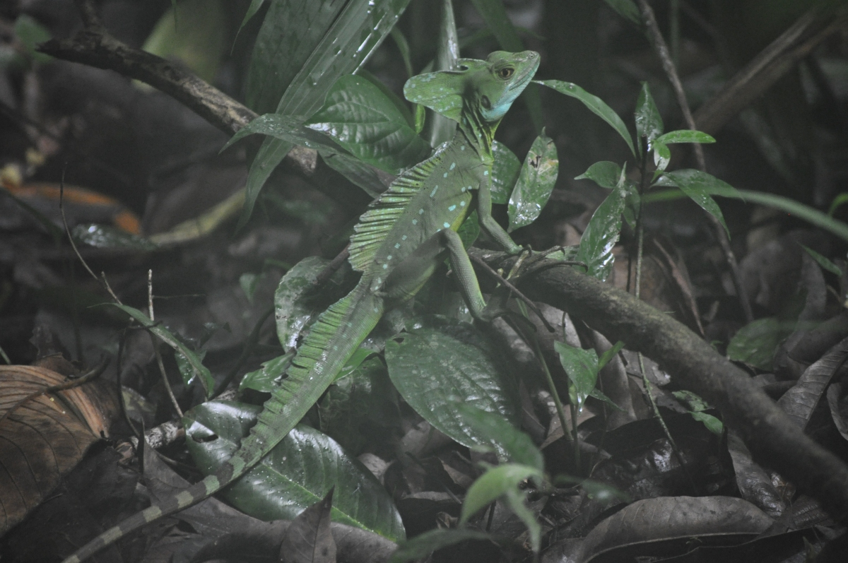 Basilisk lizard, not more leaves