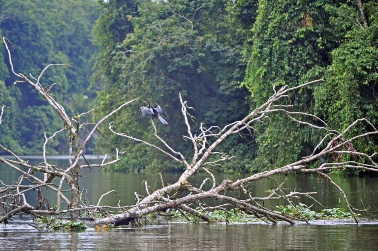 Anhing bird drying its wings in TORTUGUERO
