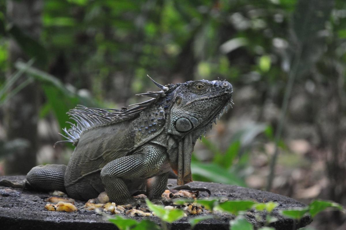 Iguana, SARAPIQUI rain forest