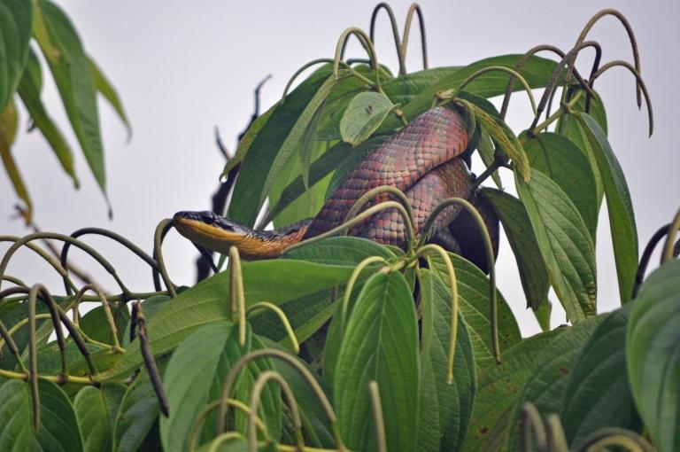Bird-snake, ARENAL