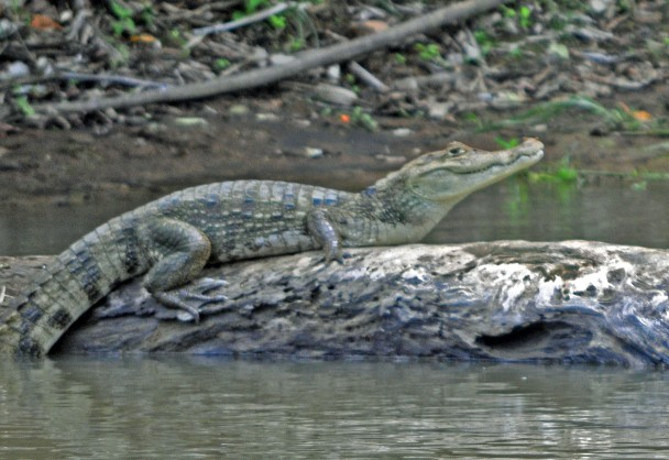 Caiman & turtles, CANO NEGRO wetlands