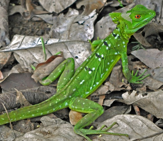 Basilisk lizard, CANO NEGRO wetlands
