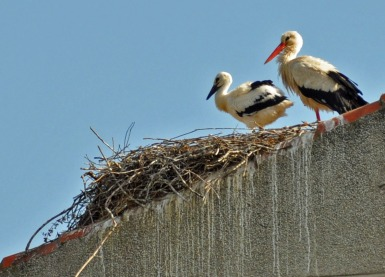 parent and baby stork