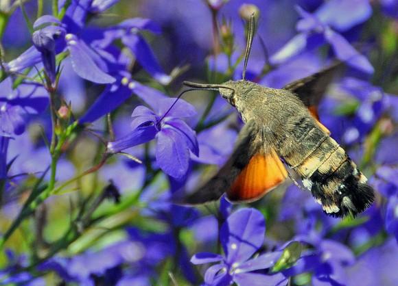 Moth, not hummingbird