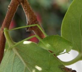 Katydid, not a leaf
