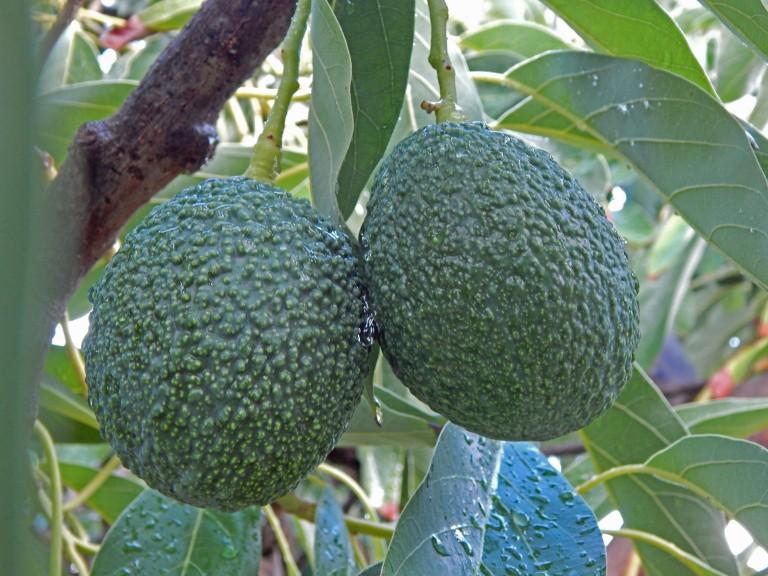 avocado are very promising