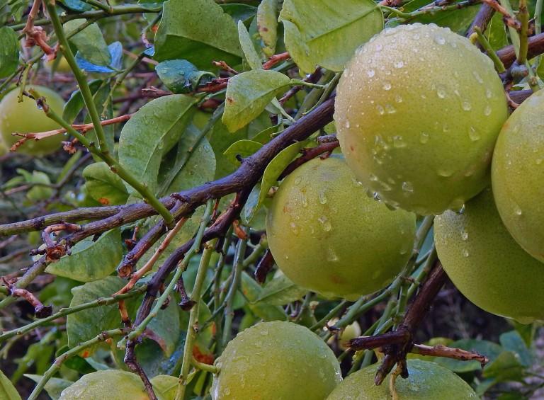 grapefruit are abundant