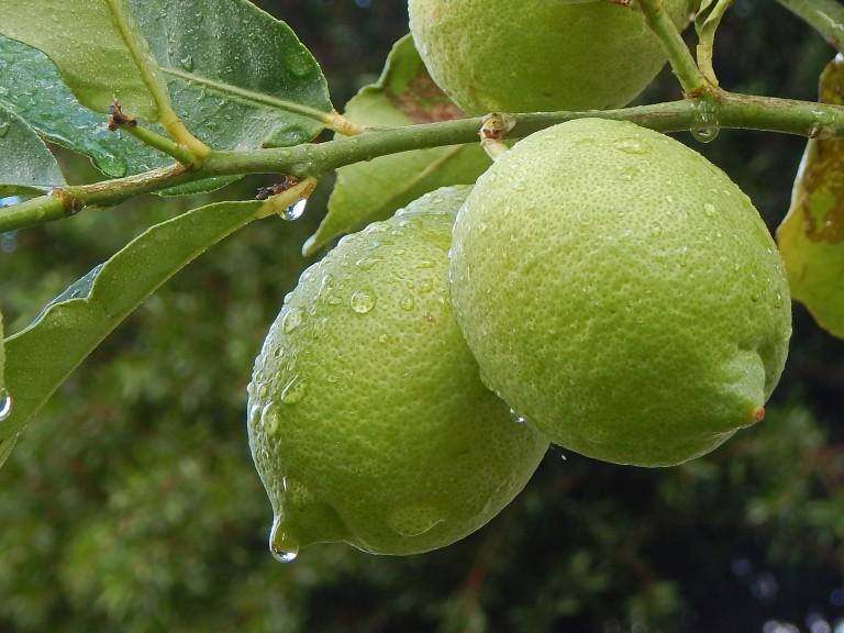 lemons are lovely