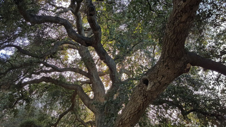 Arms of Oak