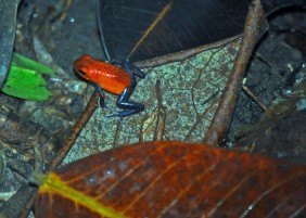 "Poison-dart ""Bluejeans"" frog, SARAPIQUI rain forest"